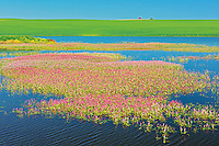 Pink flowers of water smartweed in pond alongside crop<br /> Orkney<br /> Saskatchewan<br /> Canada