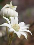 Flannel Flower