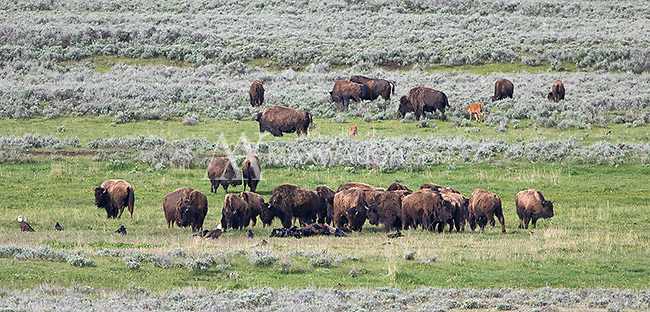 "The ""bison funeral"" takes place when a herd comes to a carcass of one of their fallen comrades.  Much like elephants, bison seem to recognize their own, even in death."