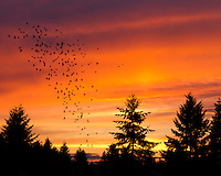Starlings dancing across the sky at sunset with silhoutte trees