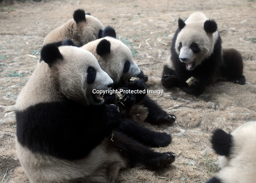 Pandas that were brought from the damaged Wolong panda reserve to Beijing eat their favorite food, panda cakes, in Beijing Zoo, 15th August 2008.   Eight tramatised one and two year-old  pandas were brought from Wolong to Beijing for recuperation and have been placed in aan Olympic Panda exhibition at Beijing zoo and are recieving unprecadented number of visitors.  The pandas were so scaerd during the quake and refused to come down from the trees. The Wolong keepers that accompanied the pandas to Beijing cuddle and play with pandas to help them recover from their horrific experience. <br />