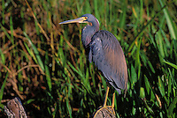 Tricolored Heron. Everglades National Park, Florida. USA. (Egretta tricolor).