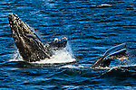 A pair of Humpback Whales,  breaching and lifting tail in the water of Icy Strait. Glacier Bay National Park & Preserve, SE Alaska, Summer.