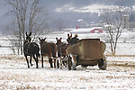 Amish man spreading manure in winter with team of mules. Nippenose Valley, Bastress, PA.
