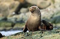 An Antarctic fur seal basks on the rocks of Aitcho Island in the South Shetland Islands off the Antarctic Peninsula.