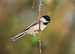 A Small Bird, The Carolina Chickadee Against A Colorful Spring Background, Poecile carolinensis, Posing Nicely