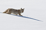 yellowstone, national, park, ypn, montana, wyoming, bison, mountains, snow, coyotes, eating, dead, carcass,