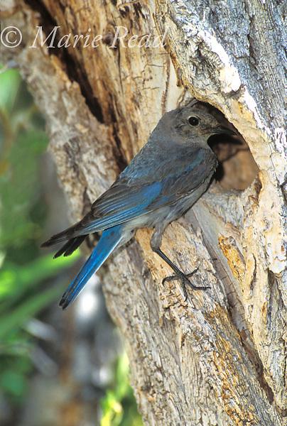Mountain Bluebird (Sialia currucoides) female at nest hole in a tree trunk, Lee Vining, California, USA<br /> Slide # B136-211