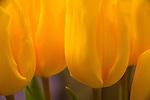 Yellow tulip closeup.