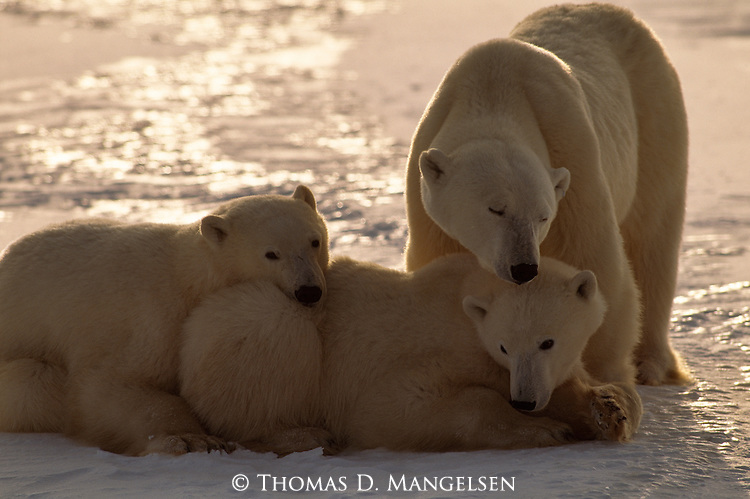 A mother polar bear nuzzles her cubs as they rest on the ice and snow in Churchill, Manitoba, Canada.