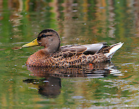 Adult female mallard in non-breeding plumage