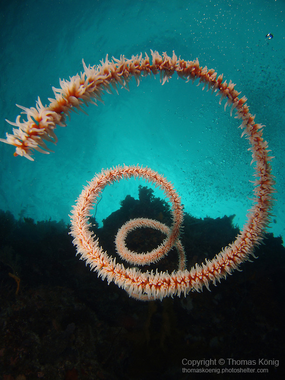 Big Drop-Off, Palau -- Spiral wire coral on a sea wall.