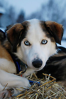 A David Sawatsky dog rests at the Nikolai checkpoint on Wednesday morning Iditarod 2009