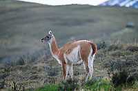 Lone Guanaco (Lama guanicoe) pauses from its meal to keep watch.