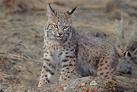 611006059 a captive bobcat felis rufus poses by a lichen covered rock on a grass covered hillside in western montana