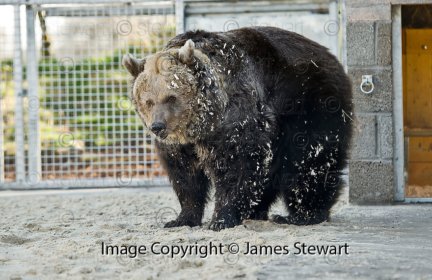 Peggy the European Brown Bear rescued from a circus in Belgium gets her first taste of freedom as she is released from her pen into the inner compound at Five Sisters Zoo in West Lothian. Peggy and two other bears, Carmen and Suzy, will be allowed to familiarise themselves with their new surroundings in the compound before being released into their custom built bear compound at the zoo.