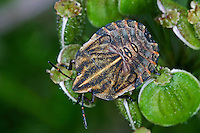 Streifenwanze, Streifen-Wanze, Larve, Nymphe, Graphosoma lineatum, Italian Striped-Bug, Striped-Bug, Minstrel Bug, larva, larvae, nymph, Baumwanzen, Pentatomidae, stink bugs