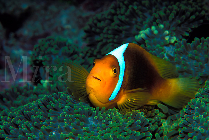 A white-bonnet anemone fish in an anemone in the Solomon Islands