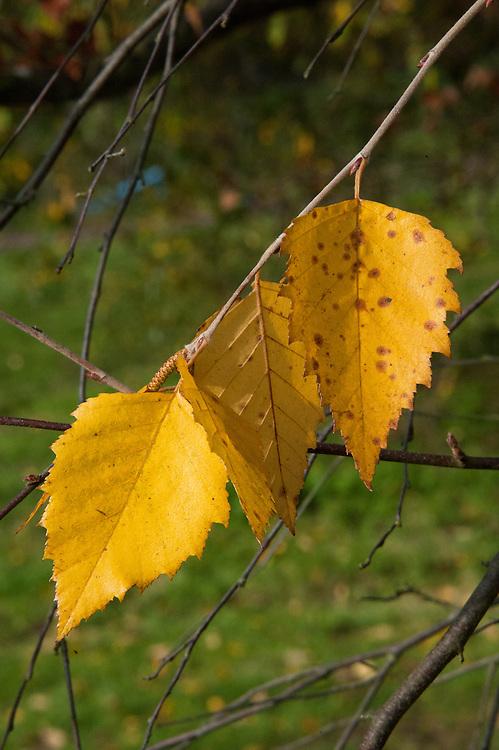 Autumn foliage of of river or black birch (Betula nigra), early November.
