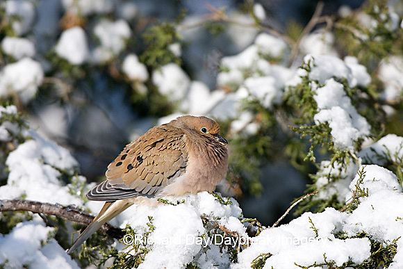 01081-011.09 Mourning Dove (Zenaida macroura) in Keteleeri Juniper (Juniperus keteleeri) in winter, Marion Co. IL