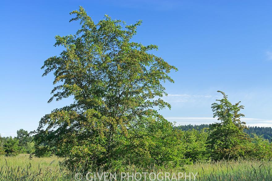 Hawthorn trees in springtime