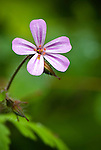 Herb Robert (Robert Geranium), Columbia River Gorge, Oregon