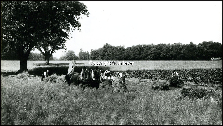 BNPS.co.uk (01202 558833)<br /> Pic: Unilever/BNPS<br /> <br /> Horse drawn harvesting in the 1920's.<br /> <br /> A staple of the British kitchen is celebrating its anniversary this year as Colman's Mustard turns 200.<br /> <br /> Archivist's research reveals the 200 year history of Colmans mustard.<br /> <br /> Founded in Norwich in 1814 by Jeremiah Colman, the super hot condiment made from Norfolk mustard seeds soon become a family favourite at dinner tables throughout the Empire, with even Capt Scott taking a case on his ill fated Terra Nova expedition to the south pole.<br /> <br /> So vital was the powdered sauce that it escaped wartime rationing to keep the home fires burning during the dark days of WW2. <br /> <br /> Despite being founded a year before Napoleon met his Waterloo, the world famous brand still produces 3000 tons of the fiery favourite every year exporting to all parts of the globe.
