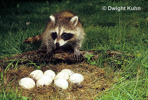 MA25-207z   Raccoon - young raccoon exploring nest of eggs - Procyon lotor