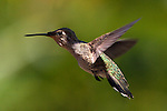 USA; California; Lakeside; San Diego; A Hummingbird flying in Lakeside