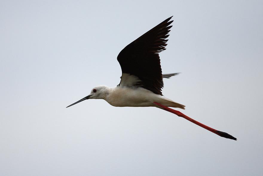 Black-winged Stilt in flight, Bagerova Steppe, Kerch Peninsula, Crimea, Ukraine