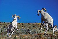 Dall sheep rams preparing to butt heads--dominance behavior.  Alaska. Fall.