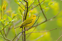 Male Yellow Warbler (Dendroica petechia)