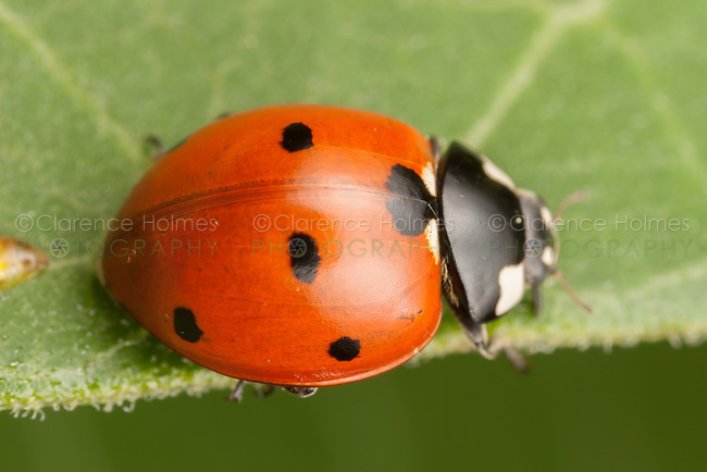 Seven-spotted Lady Beetle (Coccinella septempunctata) on a Milkweed plant leaf, Ward Pound Ridge Reservation, Cross River, Westchester County, New York