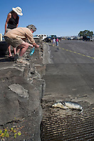 government officials and locals keeping eyes on Hawaiian monk seal, Monachus schauinslandi, basking at boat ramp, young male, critically endangered, Honokohau Harbor, Kona Coast, Big Island, Hawaii, Pacific Ocean, No MR