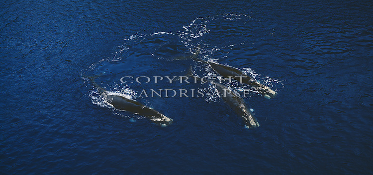 Southern Right Whales. Fiordland National Park. New Zealand.
