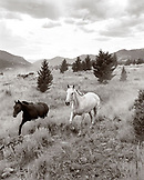 USA, Montana, horses running out to pasture, Gallatin National Forest, Emigrant