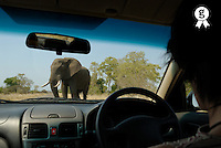 South Africa, Kruger NP, Elephant (Loxodonta africana), view from car (Licence this image exclusively with Getty: http://www.gettyimages.com/detail/200482577-001 )