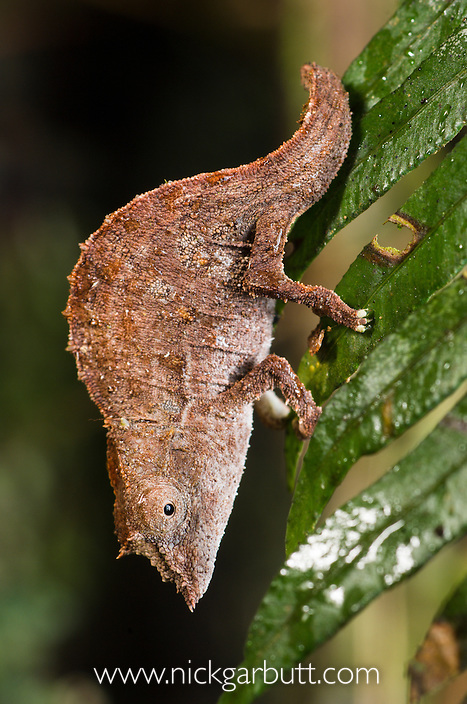 Stump-tailed or Leaf Chameleon (Brookesia nasus) on leaf at night. Ranomafana National Park, SE Madagascar.