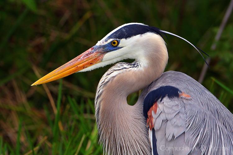 Great blue heron adult