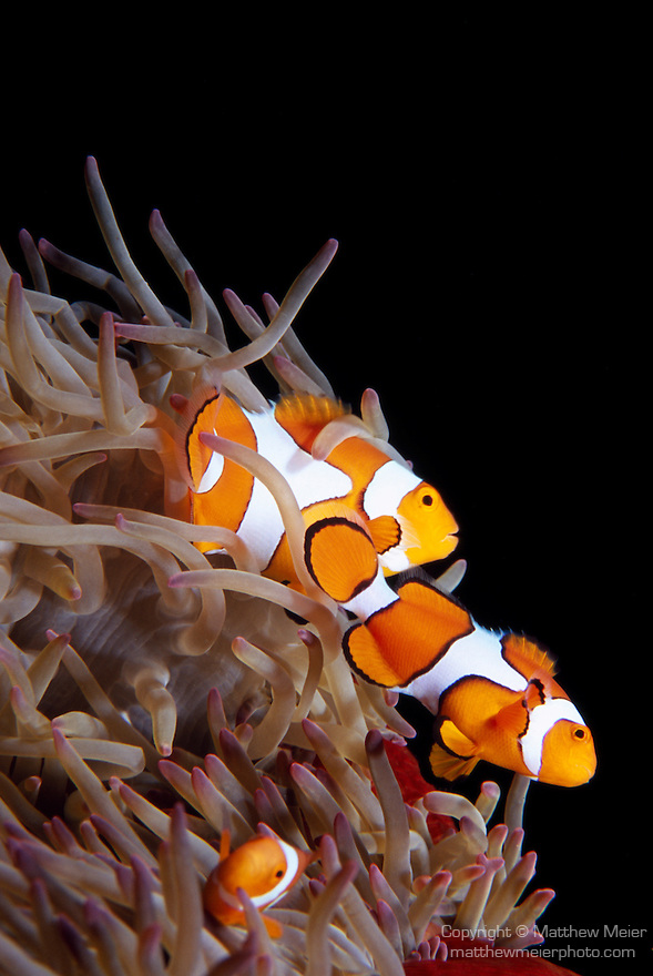 Milne Bay, Papua New Guinea; Clown Anemonefish (Amphiprion percula), to 9 cm (3 ½ in.), live in 3 anemone species to 15 meters, found in New Guinea, Solomon Islands, Great Barrier Reef to Vanuatu , Copyright © Matthew Meier, matthewmeierphoto.com All Rights Reserved