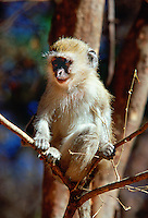 Young vervet monkey  perched on a tree branch in Zimbabwe, Africa