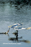00696-00417 Snowy Egret (Egretta thula) foot dragging /feeding behaviour   Everglades National Park, FL