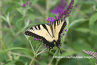 03023-03116 Eastern Tiger Swallowtail (Papilio glaucaus) on Butterfly Bush (Buddleja davidii) Marion Co. IL