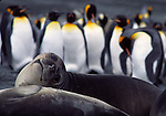 king penguins and southern elephant seal weaner