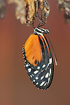 Butterfly (Heliconius hecale) emerging from its chrysalis.