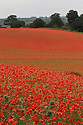 12/06/2012 ..Acres of poppies in fields near Bewdley in Worcestershire. ..All Rights Reserved - F Stop Press.  www.fstoppress.com. Tel: +44 (0)1335 300098.Copyrighted Image. Fees charged will reflect previously agreed terms or space rates for individual publications, states or country.