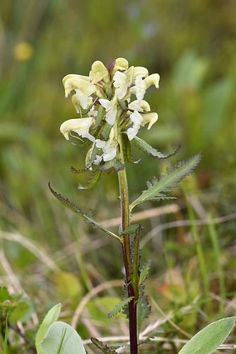 Pedicularis lapponica - Varanger, Norway