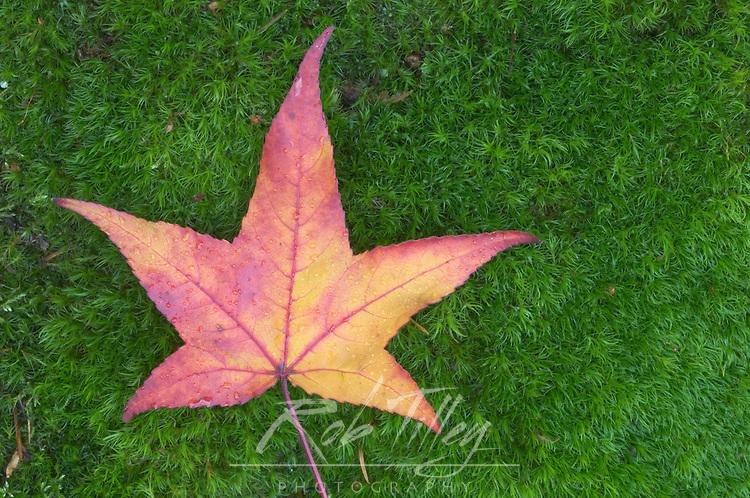 Sweet Gum Leaf on Moss, WA, USA