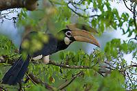Pied Hornbill (Anthracoceros coronatus) Yala National Park, Sri Lanka,
