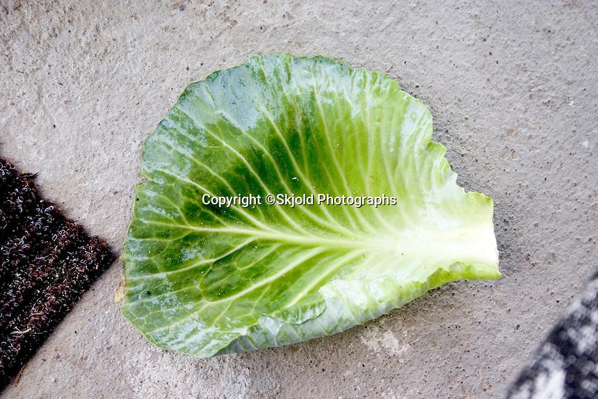 Forgotten cabbage leaf on Polish steps.  Zawady   Central Poland